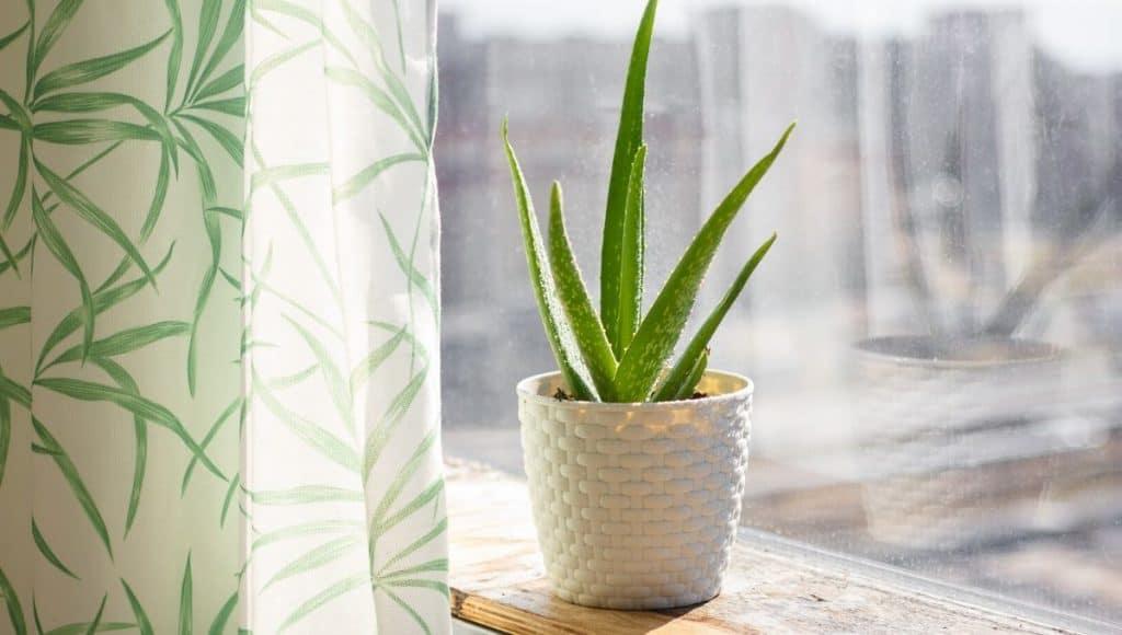 Decorating with Aloe plants