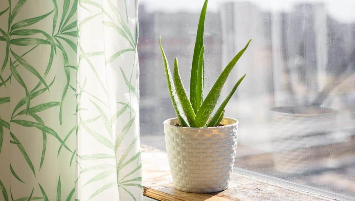 Aloe plant benefits entirelyeco