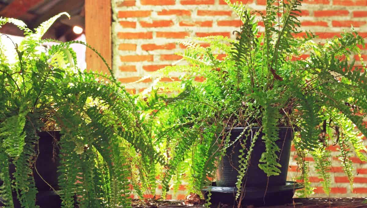 fern houseplants entirelyeco
