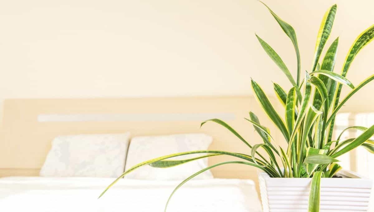 Snake plants benefits - EntirelyEco