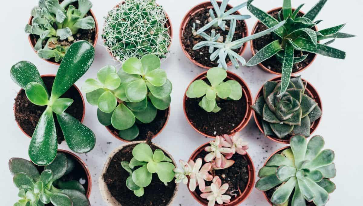 Home decor Succulent Plants