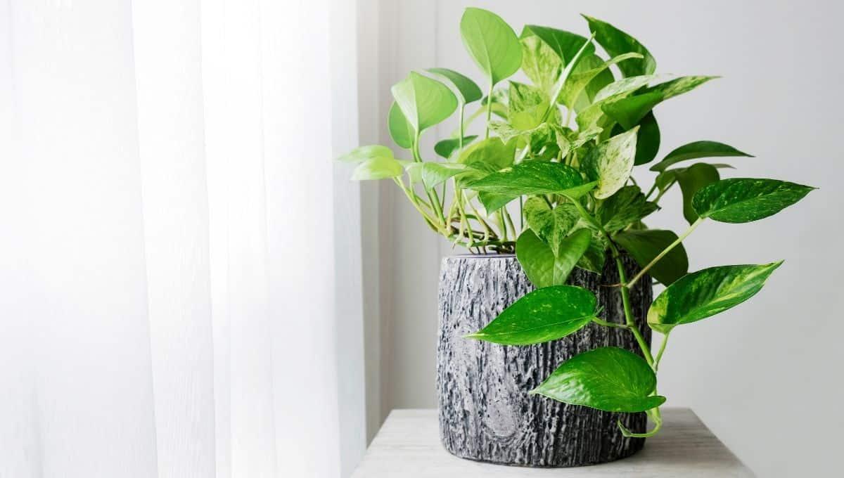 marble pothos houseplants - EntirelyEco